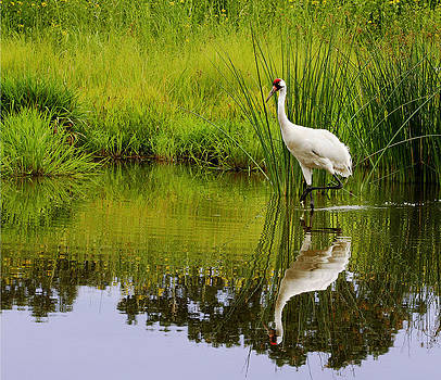 Whooping Crane by Barbara Smith