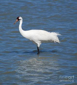 Whooping Crane by GD Rankin