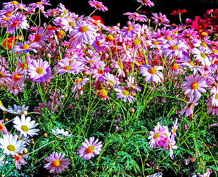 Wild and Free  Marguerite Daisies by Marilyn Holkham