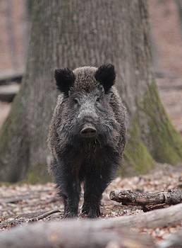Wild Boar by Dragomir Felix-bogdan