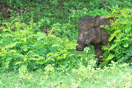 Wild boar peeping out from behind a bush by Christina Rahm