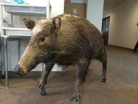 Wild boar by Yoshikazu Yamaguchi
