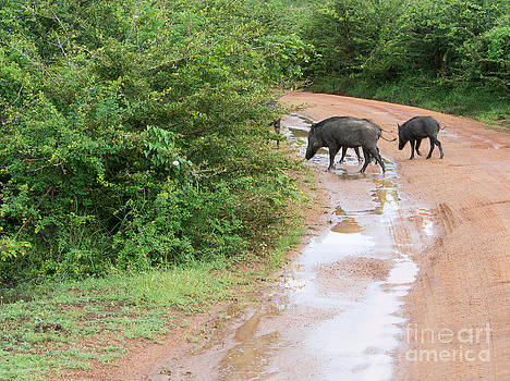 Wild boars crossing road by Christina Rahm