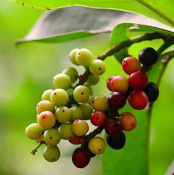 Wild Cherry / Antidesma Bunius by Silvie Gunawan
