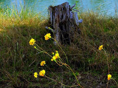 Buzz  Coe - Wild Daisies and Cedar Stump