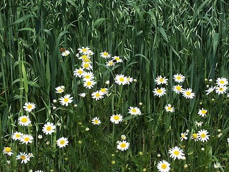 Gene Cyr - Wild Daisies