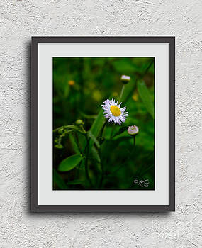 Wild Daisy by Amanda Collins