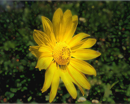 Wild Daisy by David Armstrong
