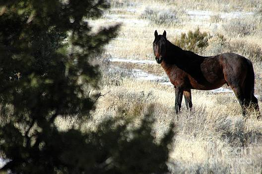 Wild Dark Bay Stallion by Craig Downer