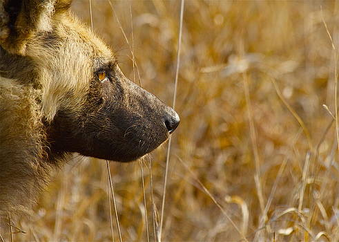 Wild Dog by Michael Blesius