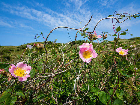 Wild dune rose no4 by Martin Liebermann