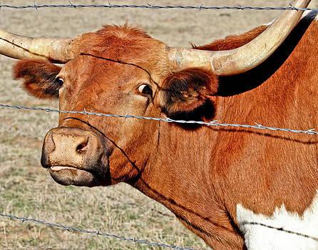Wild Eyed Longhorn by Pattie Calfy
