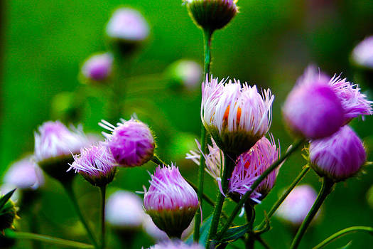 Wild Flower by Douglas Hamilton
