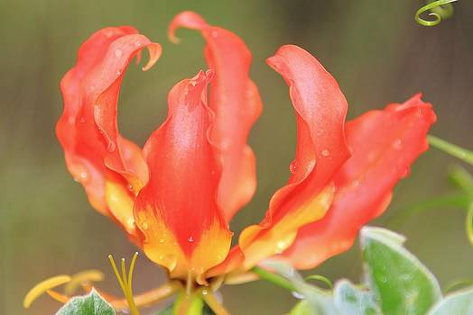 Hermanus A Alberts - Wild Flowers - Fire Lily