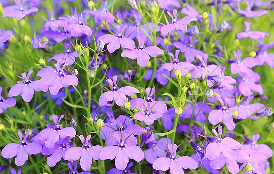 Hermanus A Alberts - Wild Flowers - Purple Wonder