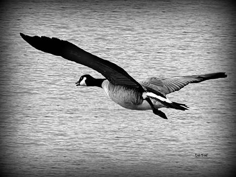 Wild Goose by Dale Paul