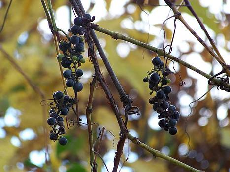 Wild Grapes by Jennifer  King