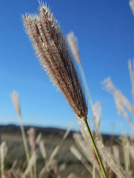 Wild Grass Bud by Justyne Moore