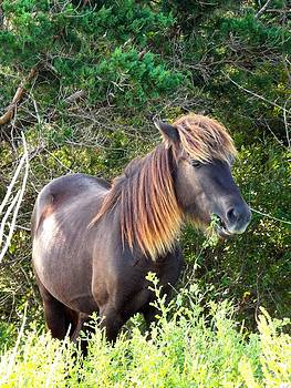 Wild Horse of Shackleford Banks by Cindy Croal