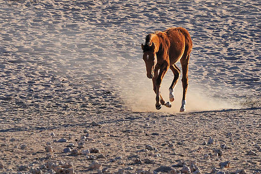 Wild horse of the Namib  by Grobler Du Preez