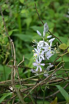Nina Fosdick - Wild Hyacinth