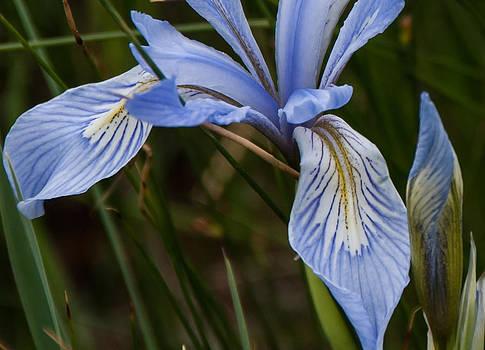 Wild Iris by Shanna Lewis