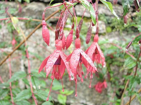 Wild Irish Fuchsia 2.Fuchsia magellanica by Joseph Doyle