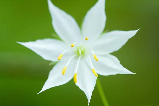 Devinder Sangha - Wild lily