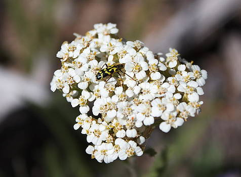Wild Popcorn Flower Hetch Hetchy by Lisza Anne McKee