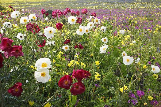 Susan Rovira - Wild Poppies South Texas