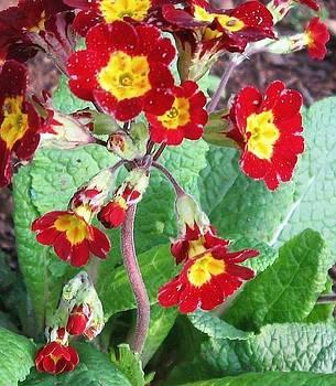 Wild Primroses by Deb Martin-Webster