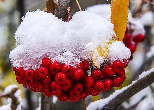 Wild Red Berries by Bob Bailey