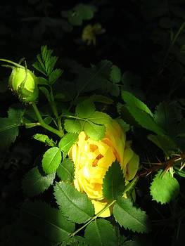 Wild Rose at Night by Natalia Levis-Fox