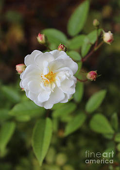 Wild Rose by Beauty Balance Design