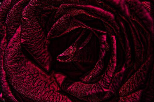 Wild Rose by Kathy Churchman