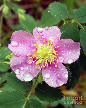 Wild Rose by Laurie Klein