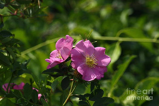 Wild Rose  by Roger Soule