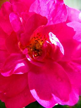 Wild Rose up close by Mark Malitz