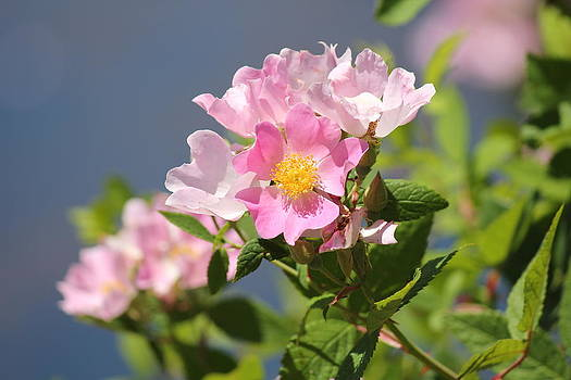 Wild Roses by Charlotte Craig