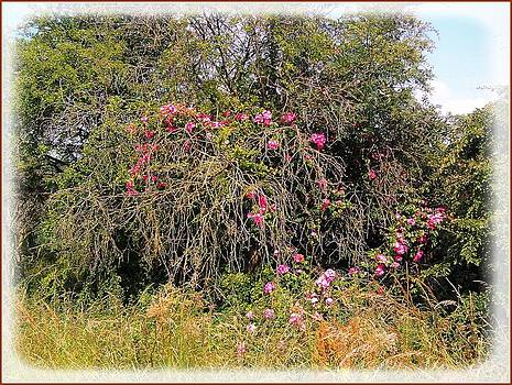 Wild Roses different angle by Geoff Cooper