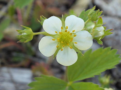 Gene Cyr - Wild Strawberry Plant