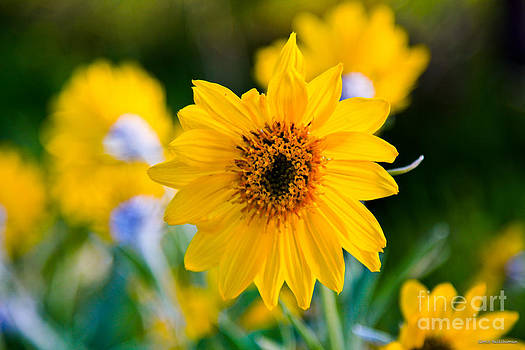 Wild Sunflower by Chris Heitstuman