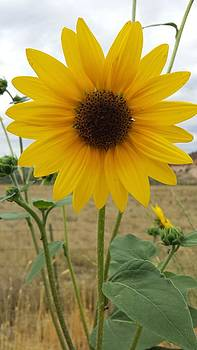 Wild Sunflower by Justyne Moore