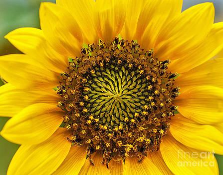 Mae Wertz - Wild Sunflower