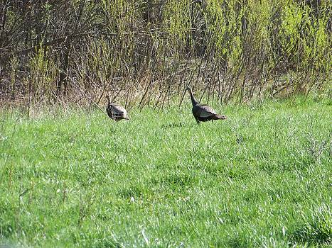Wild Turkeys by Jennifer  King