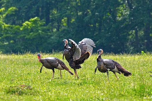 Mary Almond - Wild Turkeys