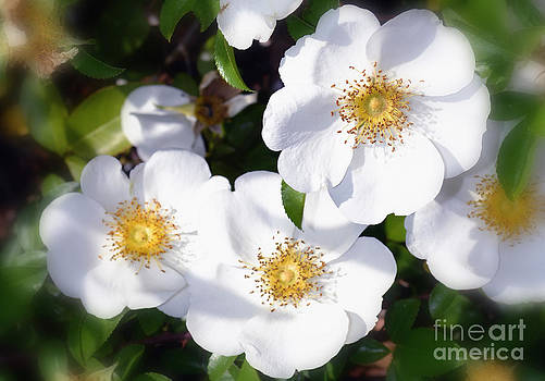 Wild White Roses by Eva Thomas