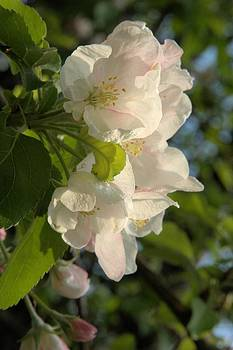 Valerie Kirkwood - Wildf Apple Blossoms