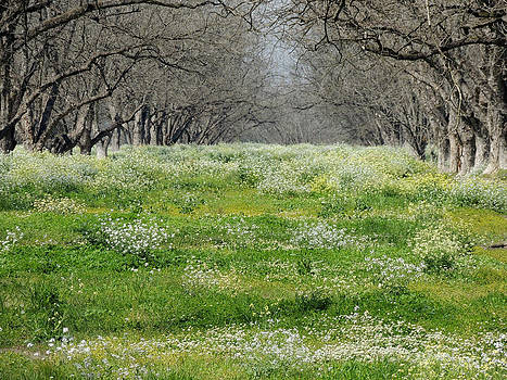 Wildflowers Awaken while a Pecan grove still slumbers in the early spring by Kim Pate