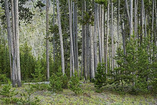 Paul W Sharpe Aka Wizard of Wonders - Wildland Growth from Fire in Yellowstone